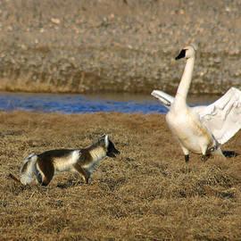 Fox vs Tundra Swan by Anthony Jones