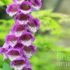 Tim Gainey - Foxglove Flowering