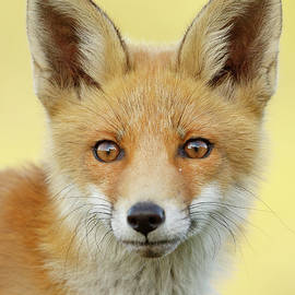 Foxy Faces Series- Young and Eager Fox - Roeselien Raimond