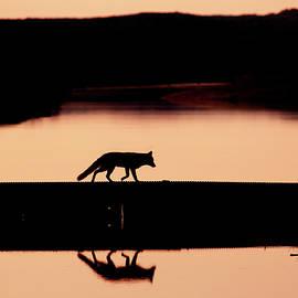 Roeselien Raimond - Foxy Nights - Red Fox Silhouette