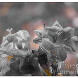 Freesia'a Without Colour by Lance Sheridan-Peel