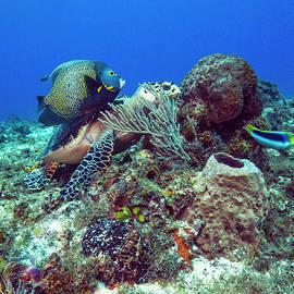 French Angelfish And The Green Turtle by Matt Swinden