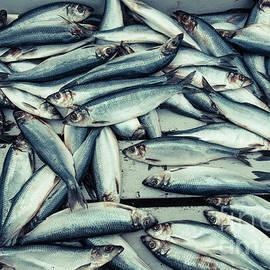 Fresh caught herring fish - Edward Fielding