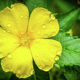 Reji Ittiachan - Fresh Yellow flower with green leaves