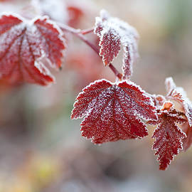 Jenny Rainbow - Frost on Red Leaves