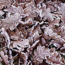 Frostnipped Oakleaves by Torbjorn Swenelius