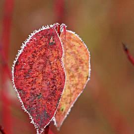 Debbie Oppermann - Frosty Autumn Dogwood