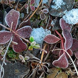 Cathy Mahnke - Frosty Foliage - Delta Junction
