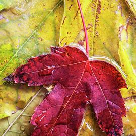 Vishwanath Bhat - Frozen autumn leaf closeup