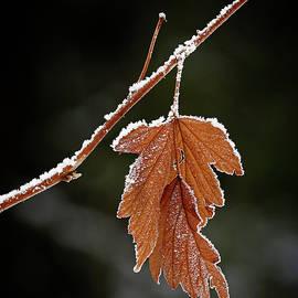 Inge Riis McDonald - Frozen leaf - 365-287