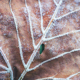 Frozen Leaves by Teri Virbickis
