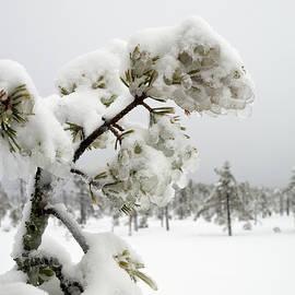 Frozen pines 5 by Jouko Lehto