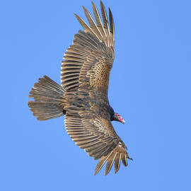 William Tasker - Full Extension Vulture