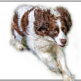Full Tilt - English Springer Spaniel 2 by Steve Harrington