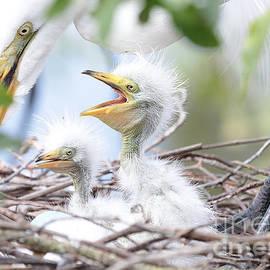 Carol Groenen - Fun Baby Egrets with Mom
