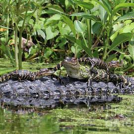 Carol Groenen - Fun Baby Gators on Mama