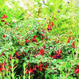 Fuschia plant - Tom Gowanlock