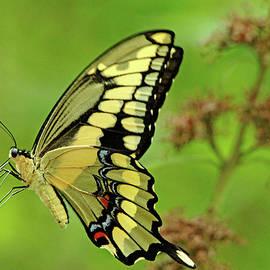 Giant Swallowtail On Buddleia by Debbie Oppermann