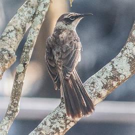 Galapagos Mockingbird by Venetia Featherstone-Witty