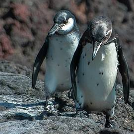 Galapagos Penguins  Bartelome Island Galapagos Islands by NaturesPix