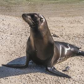 Galapagos Sea Lion by NaturesPix