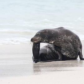 Galapagos Sea Lion Scratching