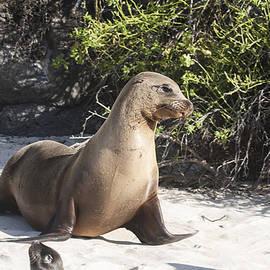 Galapagos Sea Lion Walking