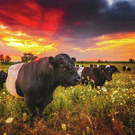 Galloway Cattle during Sunset by Marc Braner