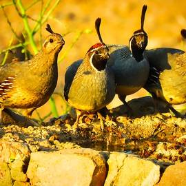 Gambel's Quail Foursome by Judy Kennedy