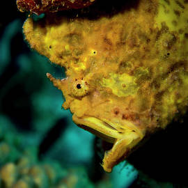 Gapping Frogfish