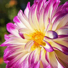 Baslee Troutman Garden Art Prints - Garden Dahlia Flower Fine Art Prints