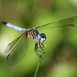Garden Dragonfly by Carol Groenen