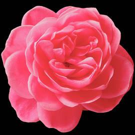 Johanna Hurmerinta - Garden Rose