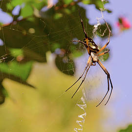 Garden Spider by Barry Jones