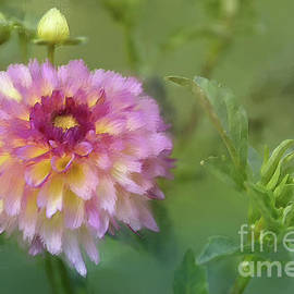 Lois Bryan - Garden Variety Dahlia