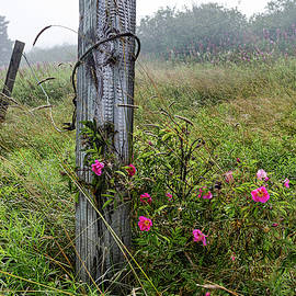 Marty Saccone - Gate Post and Rugosa Roses