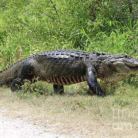 Carol Groenen - Gator Crossing