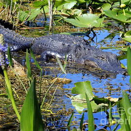 Gators in the Everglades by Charlene Cox