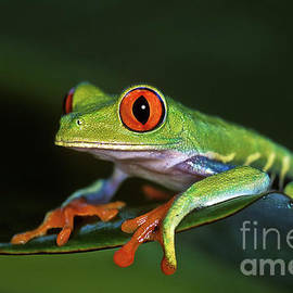 Gaudy Leaf Frog - Costa Rica by Henk Meijer Photography