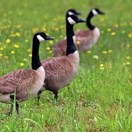 Geese In The Dandelions by Cynthia Guinn