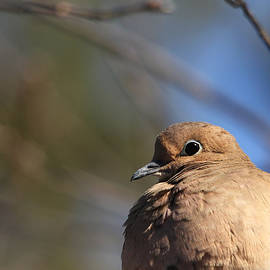 Gentle Dove by Debbie Oppermann