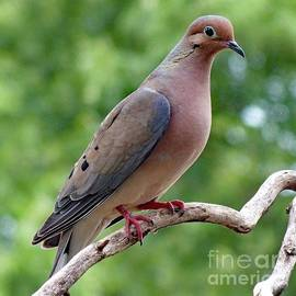 Cindy Treger - Gentle - Mourning Dove