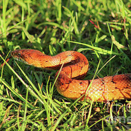 Georgia Corn Snake in Grass by Maili Page