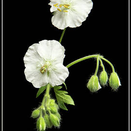 Robert Murray - Geranium Phaeum