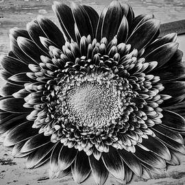 Gerbera Daisy In Black And White - Garry Gay