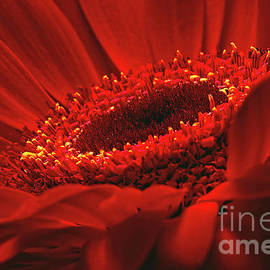 Gerbera Daisy In Red by Sharon Talson