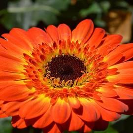 Sonali Gangane - Gerbera orange macro