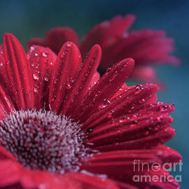 Sharon Mau - Gerbera Red Jewel