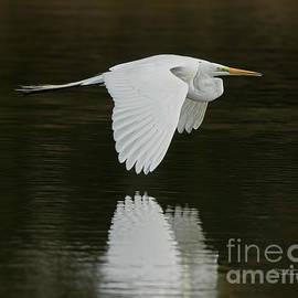 Giant Egret Flight Grace by Deborah Benoit