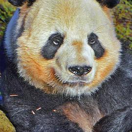 Andy Za - Giant panda.